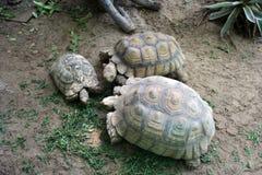 De familie van de schildpad Royalty-vrije Stock Afbeeldingen