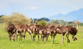De familie van de struisvogel Stock Foto's