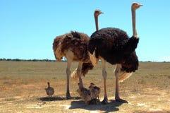 De familie van de struisvogel Stock Fotografie