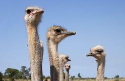 De familie van de struisvogel - RUW formaat stock foto