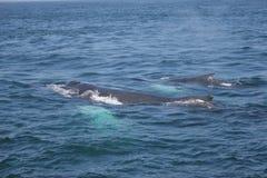 De Familie van de walvis stock foto's