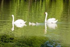 De familie van de zwaan Stock Afbeelding