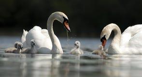 De Familie van de zwaan Stock Afbeeldingen