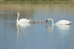 De familie van de zwaan op het meer Stock Foto's