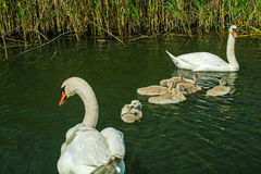 De familie van de zwaan op het meer Zwanen met nestvogels Stock Foto