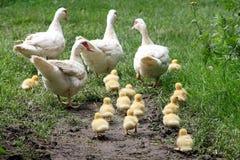De familie van een gans Stock Foto's