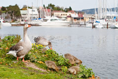 De familie van ganzen bij jachthaven Stock Foto
