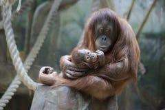 De familie van gorilla's - moeder en welp Royalty-vrije Stock Foto