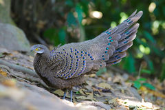 De Familie van Grey Peacock Pheasant ` s Stock Foto