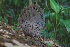 De Familie van Grey Peacock Pheasant ` s stock afbeeldingen
