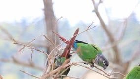 De familie van groen-cheeked de papegaai van de conureparkiet het spelen op de dode tak stock videobeelden