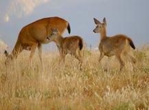 De familie van herten Royalty-vrije Stock Foto's