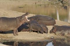 De familie van het nijlpaard Stock Foto's
