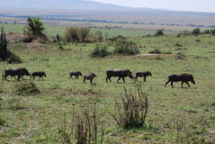 De Familie van het wrattenzwijn stock foto