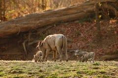 De familie van het wrattenzwijn royalty-vrije stock foto's