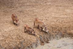 De familie van het wrattenzwijn Stock Afbeelding