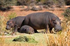 De familie van Hippo Stock Afbeeldingen