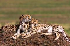 De familie van jachtluipaarden Heuvels van Serengeti Royalty-vrije Stock Fotografie
