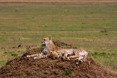 De familie van jachtluipaarden Heuvels van Serengeti Royalty-vrije Stock Afbeelding