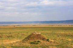 De familie van jachtluipaarden let op de savanne Heuvels van Masai Mara, Afrika Royalty-vrije Stock Foto