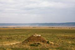 De familie van jachtluipaarden let op de savanne Heuvels van Serengeti Stock Foto's