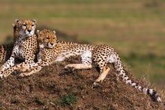 De familie van jachtluipaarden let op Heuvels van Serengeti Royalty-vrije Stock Foto's
