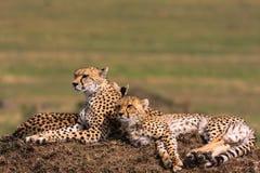 De familie van jachtluipaarden Savanne van Serengeti Stock Foto's