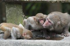 De familie van Macaque royalty-vrije stock foto