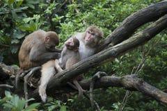 De familie van Macaque op treetop royalty-vrije stock foto's
