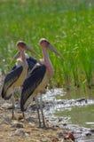 De familie van de maraboeooievaar dichtbij het meer in Ethiopië stock fotografie