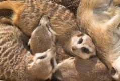 De familie van Meercat Royalty-vrije Stock Foto