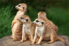 De Familie van Meerkat Stock Afbeeldingen