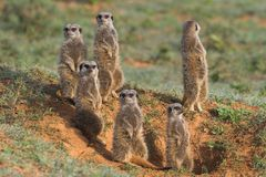 De Familie van Meerkat Stock Foto's
