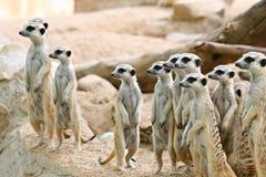 De familie van Meerkats stock foto's