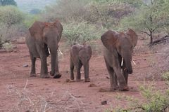 De familie van de olifant Stock Fotografie