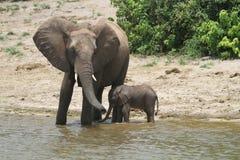 De familie van olifanten Stock Afbeelding