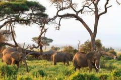 De familie van olifanten Amboseli Kenia, Kilimanjaro-berg Stock Afbeelding