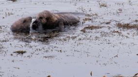 De familie van overzeese otters deelt een krab stock footage