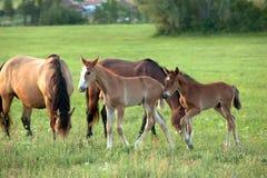 De familie van paarden Stock Foto's