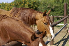 De familie van paarden stock afbeeldingen