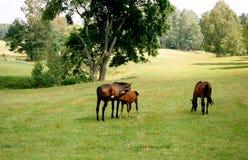 De familie van paarden. Stock Fotografie