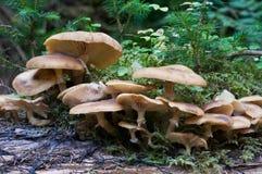 De familie van paddestoelen (mellea Armillariella) Stock Foto