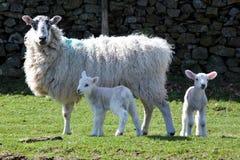 De familie van schapen stock afbeelding