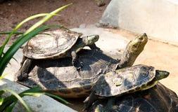 De familie van schildpadden het zonnebaden Royalty-vrije Stock Foto's