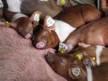 De familie van varkens in een box bij agrarische tentoonstelling. Stock Foto