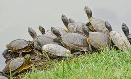 De familie van waterschildpadden royalty-vrije stock afbeelding