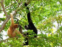 De familie van wit-cheeked gibbonapen in dierentuin Royalty-vrije Stock Afbeelding