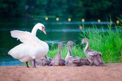 De familie van de zwaan op het meer stock afbeeldingen