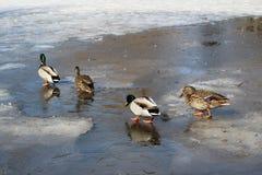 De families van wilde eenden zijn op dun ijs in het Park op een de lentedag stock foto's