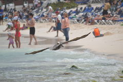 De fauna tropisch Yucatan exotisch Mexico van pelikaanvogels Royalty-vrije Stock Fotografie